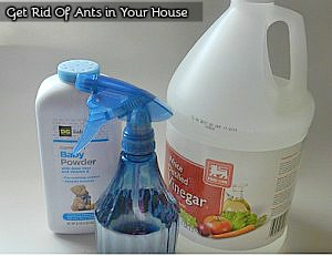 Get Rid of Ants In Your House