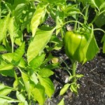 Growing My Own Vegetables
