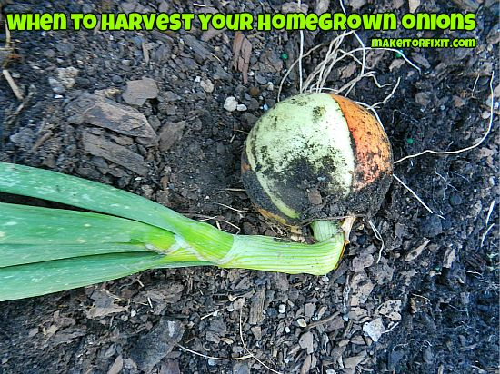 When To Harvest Your Homegrown Onions
